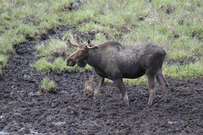 A local Moose soaking up the mud